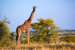 Giraff på savanna. Safari i Serengeti, Tanzania, Afrika Royaltyfria Bilder