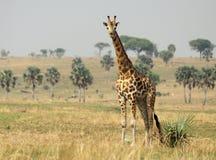 Giraff på savannet Royaltyfria Bilder