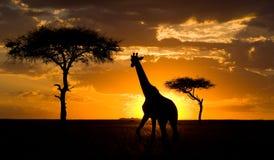 Giraff på solnedgången i savannahen kenya tanzania 5 2009 för tanzania för östlig marsch för maasai för africa dans utförande kri Royaltyfri Fotografi