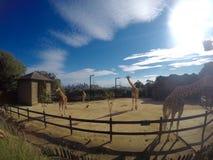 Giraff på torangazoo Arkivbild