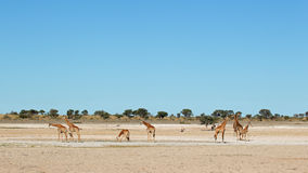 Giraff på waterhole Fotografering för Bildbyråer