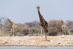 Giraff på waterhole Royaltyfria Foton
