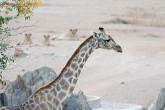 Giraff på waterhole med lejon i bakgrund Arkivfoto