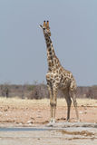 Giraff på waterhole mot blå himmel Fotografering för Bildbyråer