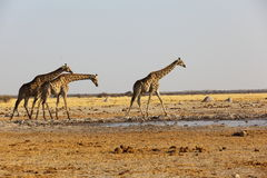 Giraff på waterholen Arkivfoto