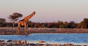Giraff på waterholen Arkivbild