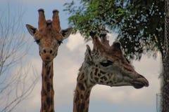 Giraff på zoo Royaltyfria Bilder