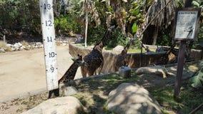 Giraff på zoo Arkivfoto