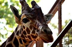 Giraff på zooen Närbild Royaltyfria Foton