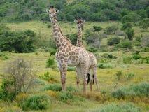 giraff s royaltyfri foto
