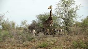 Giraff samman med tre sebror stock video