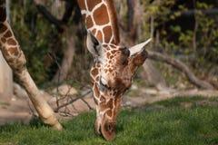 Giraff som äter gröna gras Arkivfoto