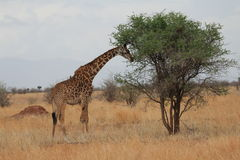 Giraff som äter i savannet royaltyfri bild