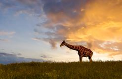 Giraff som äter på solnedgången Fotografering för Bildbyråer