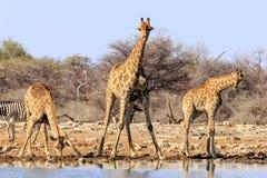 Giraff som dricker på dammet i Etosha, parkerar Namibia Arkivbilder