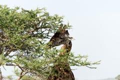 Giraff som easting från ett träd fotografering för bildbyråer