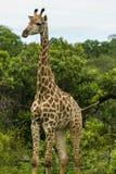 Giraff som flyttar sig till och med de täta buskarna royaltyfria bilder