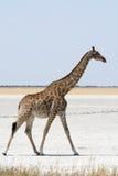 Giraff som går en salt panna Royaltyfri Foto