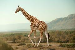 Giraff som går i öken Royaltyfri Bild
