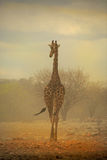 Giraff som går i en sandstorm Arkivbilder