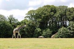 Giraff som går i zoo Fotografering för Bildbyråer