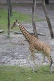 Giraff som går till och med träden Arkivbild