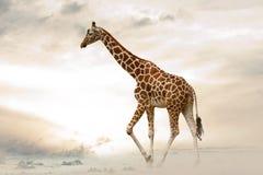 Giraff som går i öken Fotografering för Bildbyråer
