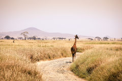 Giraff som isoleras i Serengetien Royaltyfri Bild