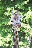 Giraff som klibbar tungan Arkivbild