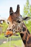 Giraff som klibbar tungan Royaltyfri Fotografi