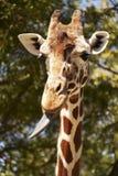 giraff som klibbar ut tungan Royaltyfri Foto