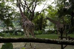 Giraff som kopplar av i den Singapore zoo Arkivbild