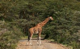 Giraff som korsar vägen Royaltyfria Bilder