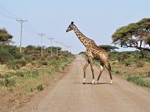 Giraff som korsar vägen Fotografering för Bildbyråer