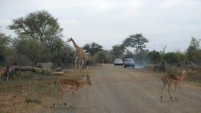 Giraff som korsar vägen Djurlivsafari i den Kruger nationalparken, ha som huvudämne loppdestinationen i Sydafrika stock video