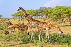 Giraff som matar i naturlig livsmiljö Fotografering för Bildbyråer