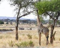 Giraff som matar med elefanter i bakgrund Royaltyfri Foto