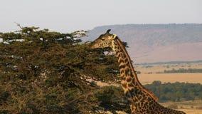 Giraff som matar med oloololobrant sluttningmasaien mara i avståndet arkivfilmer
