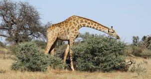 Giraff som matar på ett träd stock video