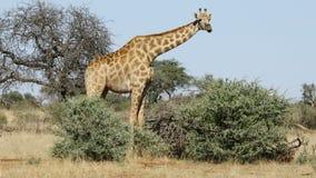 Giraff som matar på ett träd lager videofilmer
