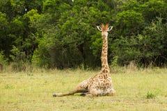 Giraff som ner sitter Sydafrika Royaltyfri Foto