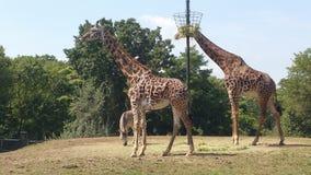Giraff som omkring strövar omkring Fotografering för Bildbyråer