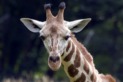 giraff som ser dig Arkivfoto