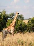giraff som ser dig arkivbild