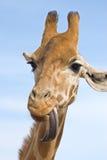 giraff som ser dum Fotografering för Bildbyråer