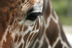 giraff som ser mig Royaltyfri Foto