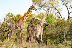 Giraff som slåss i Tanzania, Afrika arkivbilder
