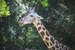 giraff som slickar kanter Arkivfoto
