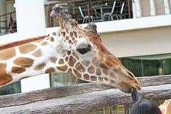 Giraff som spelar med barnhuvudet royaltyfria bilder