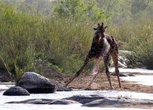 Giraff som tar en drink Royaltyfria Bilder